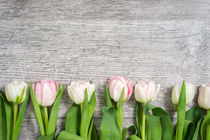 Row of white Tulips von Gerhard Petermeir