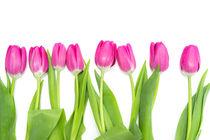 Row of long, pink Tulips von Gerhard Petermeir