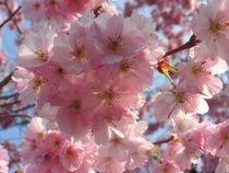 Blütentraum im April2016 by rosenlady