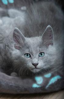 Nebelung Kitten / 1 von Heidi Bollich