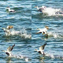 Wasserläufer Bilderserie von toeffelshop