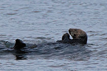 Praying-sea-otter-1-of-1-1