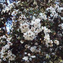White Blossom von tataniarosa
