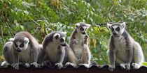 Lemur katta, ringtailed lemur, meeting, Madagaskar von Dagmar Laimgruber