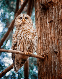 Barred Owl by david-nature