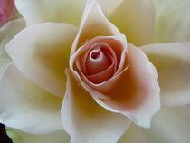 'Aufgehende Rosenblüte' by isma