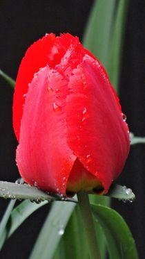 Rote Tulpe im Regen von Art of Irene S.