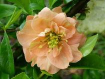 Zierquittenblüte von isma