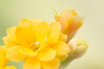 Lovely Bokeh Flower von Gerhard Petermeir