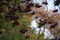 Rowan berries by Natalia Akimova