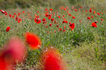 Poppies (Papaver rhoeas) in field in spring von Perry  van Munster