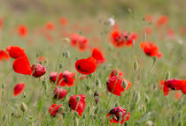 Spring filed poppies by Perry  van Munster