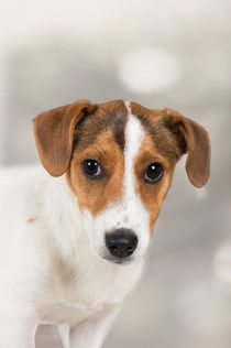Jack Russell Terrier Welpe / 1 von Heidi Bollich