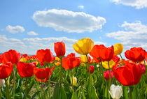 Tulpenhimmel von gugigei