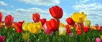 Tulpen - Tulpen - Tulpen von gugigei