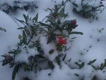 Bartnelke trotzt dem Winter by isma