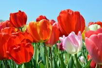 Blütenpracht von gugigei