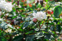 white rose in a garden von Igor Koshliaev