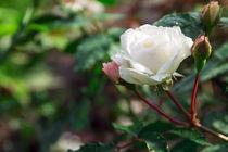 raindrops on a white rose by Igor Koshliaev