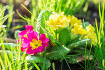 primrose flower by Igor Koshliaev