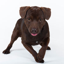 Patterdale Terrier / 1 by Heidi Bollich