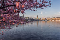 Cherry Blossoms I by Simone Jahnke