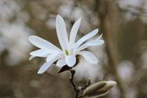 Weiße Blüte von frauherrmann