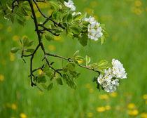 Blütenzweig von gugigei