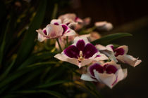 Pansy Orchid by Kathleen Scanlan