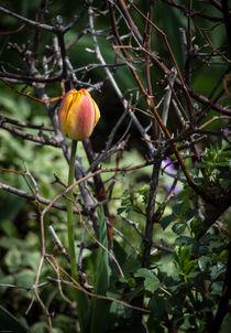 Spring Tulip in Thorns von Kathleen Scanlan