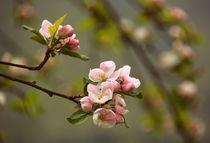 Apfelblüte by gugigei