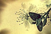 Blüten-Blatt von leddermann