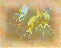 Fragant-yellow-2