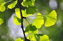 Licht im Ginkgobaum von gugigei