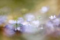 Leberblümchen by hpengler