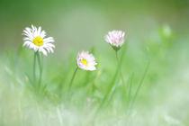 Gänseblümchen by hpengler
