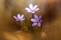 Die drei Leberblümchen by hpengler