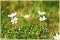 Delicate Spring Flowers von Sandra  Vollmann
