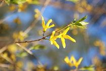 Gelbe Blüte von frauherrmann