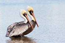 Pelikane von hpengler