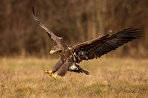 Seeadler by hpengler