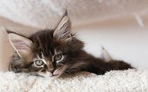 Maine Coon Kitten / 68 by Heidi Bollich