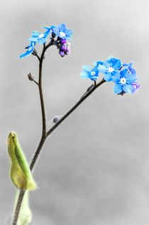 Print-of-forget-me-no