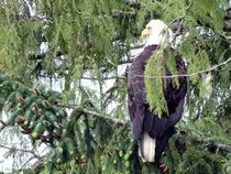 Eagle Watching von Gena Weiser