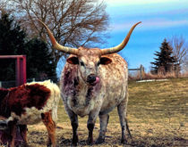Bull Horns by Gena Weiser