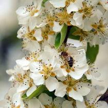 Biene auf Birne by gugigei