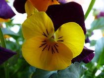 Lilagelbes-hornveilchen