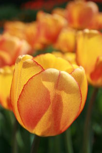 Tulpen in Orange von Monika Jasmine