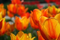 Tulpen in Orange 4 von Monika Jasmine