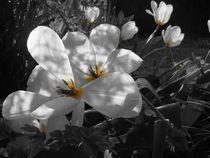 Bild-mohnblumen-schwarz-weiss-368-1